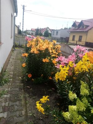 Znowu moje lilie